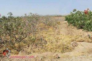 نابودی ۹۸ درصدی باغهای پسته رفسنجان