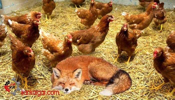 ماجرای روباه نگونبخت در مرغداری