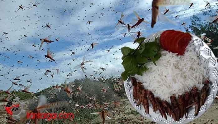 نقش دولت در بحران هجوم ملخها و روی آوردن مردم به خوردن ملخ