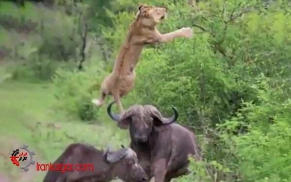 دفاع شجاعانه یک بوفالو از همنوعش در مقابل حمله شیر و فراری دادن شیر