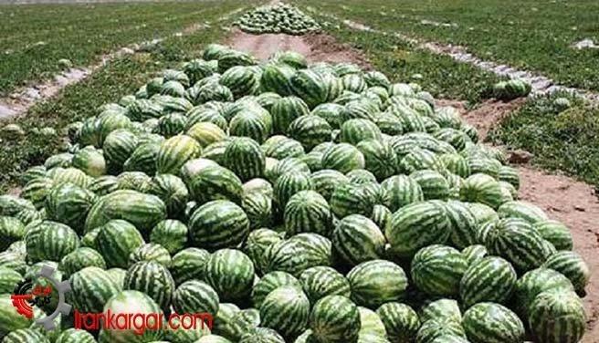 از بین بردن هندوانه توسط کشاورزان